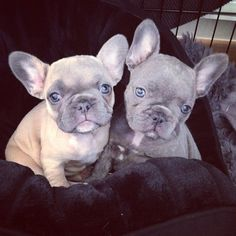 The major breeds of bulldogs are English bulldog, American bulldog, and French bulldog. The bulldog has a broad shoulder which matches with the head. French Bulldog Clothes, Cute French Bulldog, French Bulldogs, Baby Bulldogs, English Bulldogs, Cute Puppies, Cute Dogs, Dogs And Puppies, Doggies