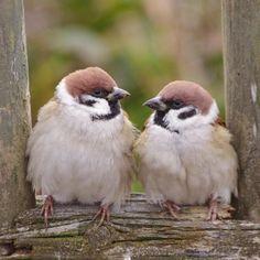 「おたがいモフモフだねー」 (*´ -`)(´- `*) ネ- #雀 #スズメ #すずめ #sparrow
