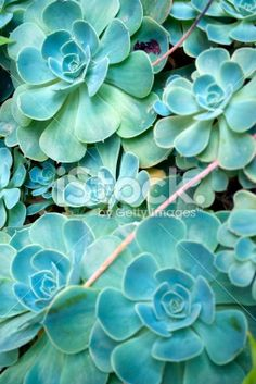 A close up of a Sempervivum plant in differential focus. Floral Backgrounds, Hens And Chicks, Closer To Nature, Close Up Photos, Image Now, Spring Time, Nature Photography, Succulents, Wedding Invitations