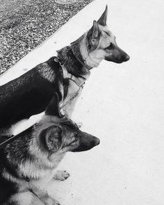 Our German shepherds Pyrrha and Eden on a walk | Abby Farson Pratt