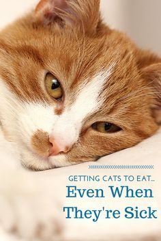 How To Get Cats To Eat Even When They're Sick  http://www.petmd.com/blogs/nutritionnuggets/cat/dr-coates/2014/december/getting-cats-eat-even-when-theyre-sick-32367?utm_content=buffer8a912&utm_medium=social&utm_source=pinterest.com&utm_campaign=buffer