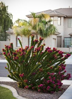 Torch Glow is not your normal bougainvillea. This unique shrubby grower blooms atop upright branches. Arizona Gardening, Drought Resistant Plants, Xeriscape, Plants, Arizona Backyard, Bougainvillea, Small Backyard Landscaping, Arizona Plants, Landscaping Plants