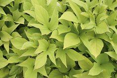 'sweet Caroline Light Green' - Sweet Potato Vine - Ipomoea Batatas