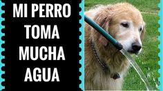 Mi Perro Toma Mucha Agua - Cuanta Agua Debe Tomar  un Perro Normalmente ...