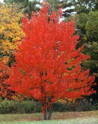 Line Your Property with Brilliant Red Color Red Maple