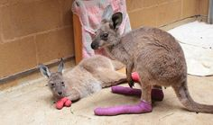 ICYMI: Adelaide Zoo is treating the joeys injured in the recent SA bushfire @ZoosSA #safires http://ab.co/1xjqbys