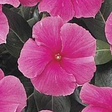 Catharanthus roseus 'Cooler Rose'