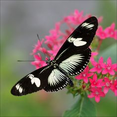 Green Doris Long-wing Butterfly (Heliconius doris ) - Flickr - Photo Sharing!