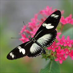 ~~Green Doris Longwing Butterfly (Heliconius doris) by Foto Martien~~