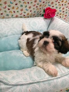 Is Your Shih Tzu Driving Your Crazy? Eliminate Over 30+ Common Behavioral Shih Tzu Issues - shih tzu #shihtzu #shihtzucorner #dog #doglovers #dogs