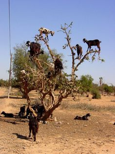Argan Trees in Morocco, goats climb these trees with ease /