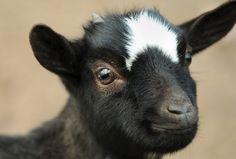 chèvre trop chou
