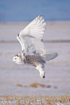 Birds of Prey - Snowy owl in flight. - title White Ghost - by Mitchell Kranz on 500px