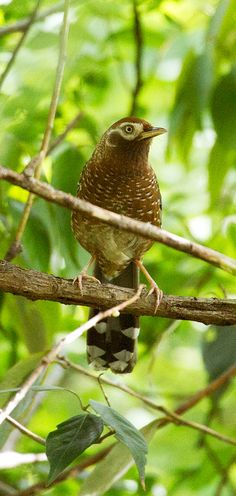 The White-speckled Laughingthrush (Garrulax bieti) is a species of bird in the Leiothrichidae family. It is endemic to China. Its natural habitat is temperate forests. It is threatened by habitat loss.The scientific name commemorates the French naturalist Félix Biet.