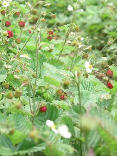 wild strawberry plants in italy - our reward when taking looOOOoong hikes!