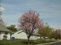 PT 99 APRIL 2014 NAMPA IDAHO BLOSSOMING TREE.