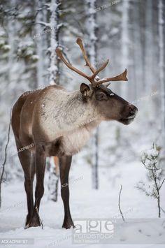 Caribou Animal, Reindeer Photo, Artic Animals, Moose Deer, Wild Animals Photography, Rena, Pet Photos, Creature Concept Art, Majestic Animals