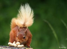 Red Squirrel - Nuts for lunch