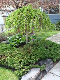 Caragana arborescens 'Pendula' like this one