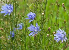 Inulin from chicory root, which is classified as a dietary fiber, does not elevate blood sugar levels, which makes it beneficial for people with diabetes and related conditions (such as PCOS and insulin resistance). www.globalhealingcenter.com