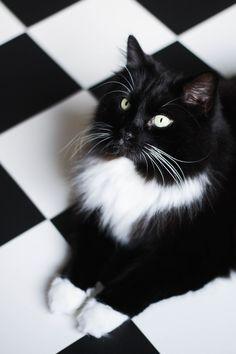 Картинка кот черный и белая кошка