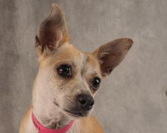 Petango.com – Meet Spindle, a 1 year 1 month Chihuahua, Short Coat / Mix available for adoption in COLORADO SPRINGS, CO.  Interested in meeting Spindle? Call (719) 495-7679 to speak to an adoption representative at National Mill Dog Rescue.