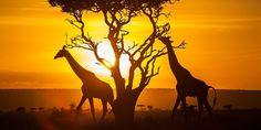 Le Kenya est l'Afrique orientale dans un microcosme. Célèbre pour ses safaris savane classique, le Kenya est un pays confronté à des extrêmes dramatiques et des contrastes classiques. Les déserts, les forêts et les plaines ouvertes, les cultures tribales colorées, les lacs d'eau douce et les récifs coralliens …, les visiteurs ne vont pas s'ennuyer dans ce pays mythique. Tour d'horizon. Malindi Les safaris ont été les principales attractions touristiques au Kenya depuis des décennies, tandis…