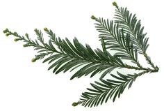 redwood tree leaves - Google Search