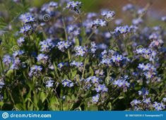 Photo about Wood forget-me-not. a beautiful light blue flower growing on meadows and fields. Image of summer, beautiful, fieldsmyosotis - 180153918 Images Of Summer, Light Blue Flowers, Forget Me Not, Growing Flowers, Beautiful Lights, Fields, Stock Photos, Wood, Plants