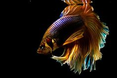 Betta- thinkin of gettin one of these...been awhile... need a distraction from ole man winter