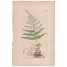 Antique 1841 JAMES SOWERBY hand-colored engraving, Fern, Plt 1419 English Botany