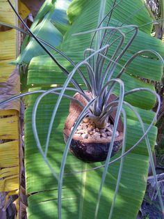 Fathers day Plant hanger Gardening Hanging planter Bromeliad / Air Plant DIY kit Coconut plant hanger. $23.50, via Etsy.