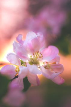 """dennybitte: """" Happy belated Birthday Good that we have Angie, our living birthday calendar. :D Cheers M! Bright Wallpaper, Flower Wallpaper, Amazing Nature Photos, Beautiful Pictures, My Flower, Flower Power, Pretty Flowers, Pink Flowers, Apple Flowers"""