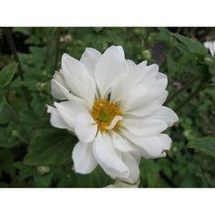 Anemone hybrida 'Whirlwind'. Herfstanemone, wit bloeiend, dubbelbloemig. Deer Art