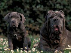 Black mastiff | Black Neopolitan Mastiff with Puppy Poster van Adriano Bacchella - bij ...
