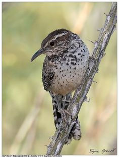 Cactus Wren is a species of wren that is native to the southwestern United States southwards to central Mexico
