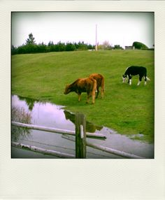 Whidbey Island Cows ... Well, not all that wild