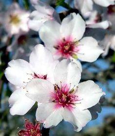Almond Flower- Promise, Hope; Indiscretion