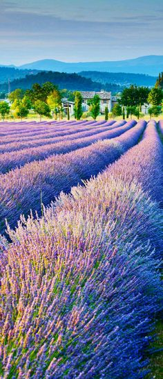 Lavender fields in the Luberon, around the Mont-Ventoux, in the region of Sault and that of Valreas, Provence, France.