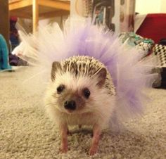 I see your Mexican hedgehog and raise you a hedgehog in a tutu - Imgur