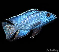 Pseudotropheous demasoni 4 mbuna cichlid non for Aggressive fish for sale