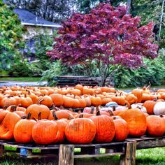 fall pumpkins Fall Pumpkins, Autumn, Vegetables, Outdoor, Beauty, Color, Outdoors, Fall Season, Colour