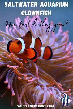 How fast do saltwater clownfish grow? #saltwateraquariumfish #aquariumfish #saltwaterfish #marineaquariumfish Marine Aquarium Fish, Saltwater Aquarium Fish, Saltwater Tank, Marine Fish, Some Amazing Facts, Fishing For Beginners, Nano Tank, Home Aquarium, Salt Water Fish