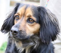 Abbey is an adoptable Spaniel Dog in Calverton, NY. Abbey is a gorgeous 4 yr old female Spaniel mix. Due to some anxiety issues, she has been unable to stay in her previous home. She needs a lot of ro...