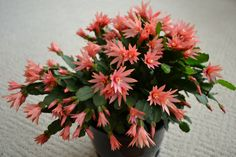 Yay, it's in full bloom! Growing Succulents, Cacti And Succulents, Easter Cactus, Purple Plants, Christmas Cactus, Wild Flowers, Bouquet, Bloom, Garden Ideas