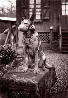 Dog with Gas Mask 1917 | surviving | help | crazy | war | destruction | breathe | pollution