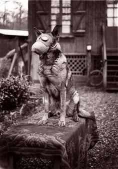 <> Dog with gas mask. 1917