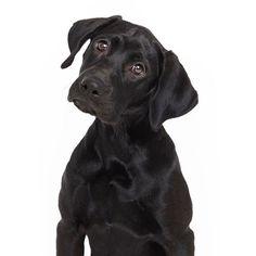 A Benign Cyst On A Labrador Labradorretrievers Labs More