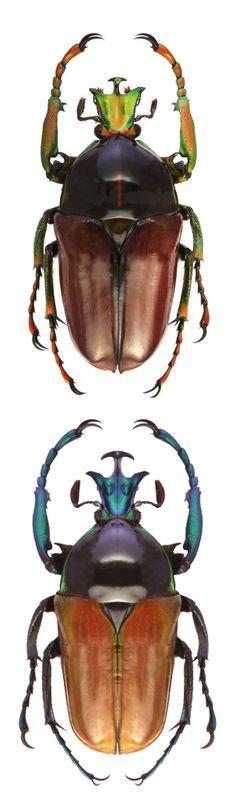 Neptunides polychrous fuscipennis; Neptunides polychrous manowensis. Scarabaeidae; CETONIINAE