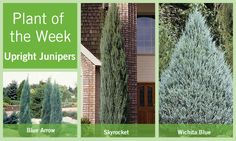 Upright Juniper Plant of the Week Backyard Privacy, Front Yard Landscaping, Privacy Hedge, Trees And Shrubs, Trees To Plant, Blue Arrow Juniper, Foundation Planting, Growing Gardens